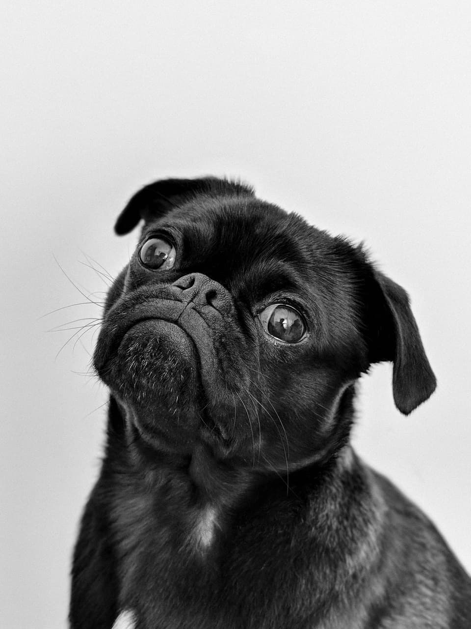 Jak zdobyć rodowód dla psa?