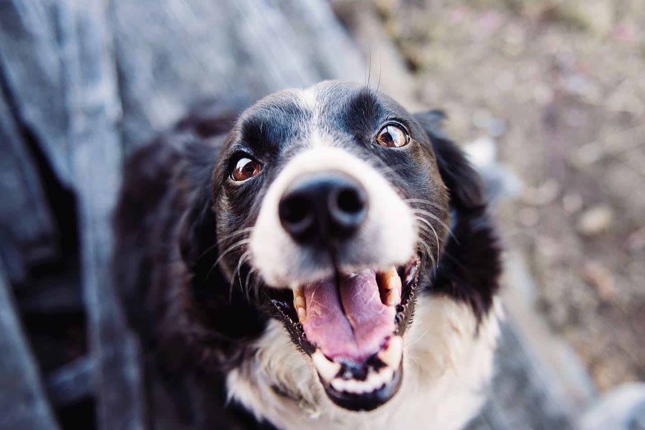 Ile kosztuje rodowód dla psa?