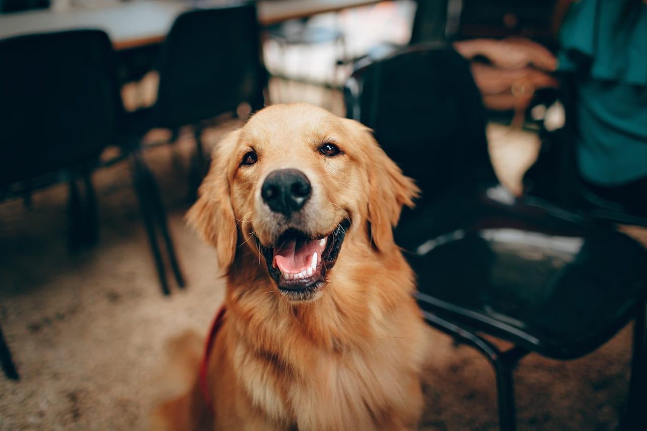 Jak wyrobić Rodowód Psa: wyrobienie Rodowodu Psa.
