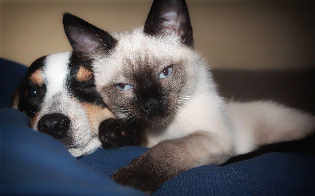 Jak przyzwyczaić kota do szczeniaka?