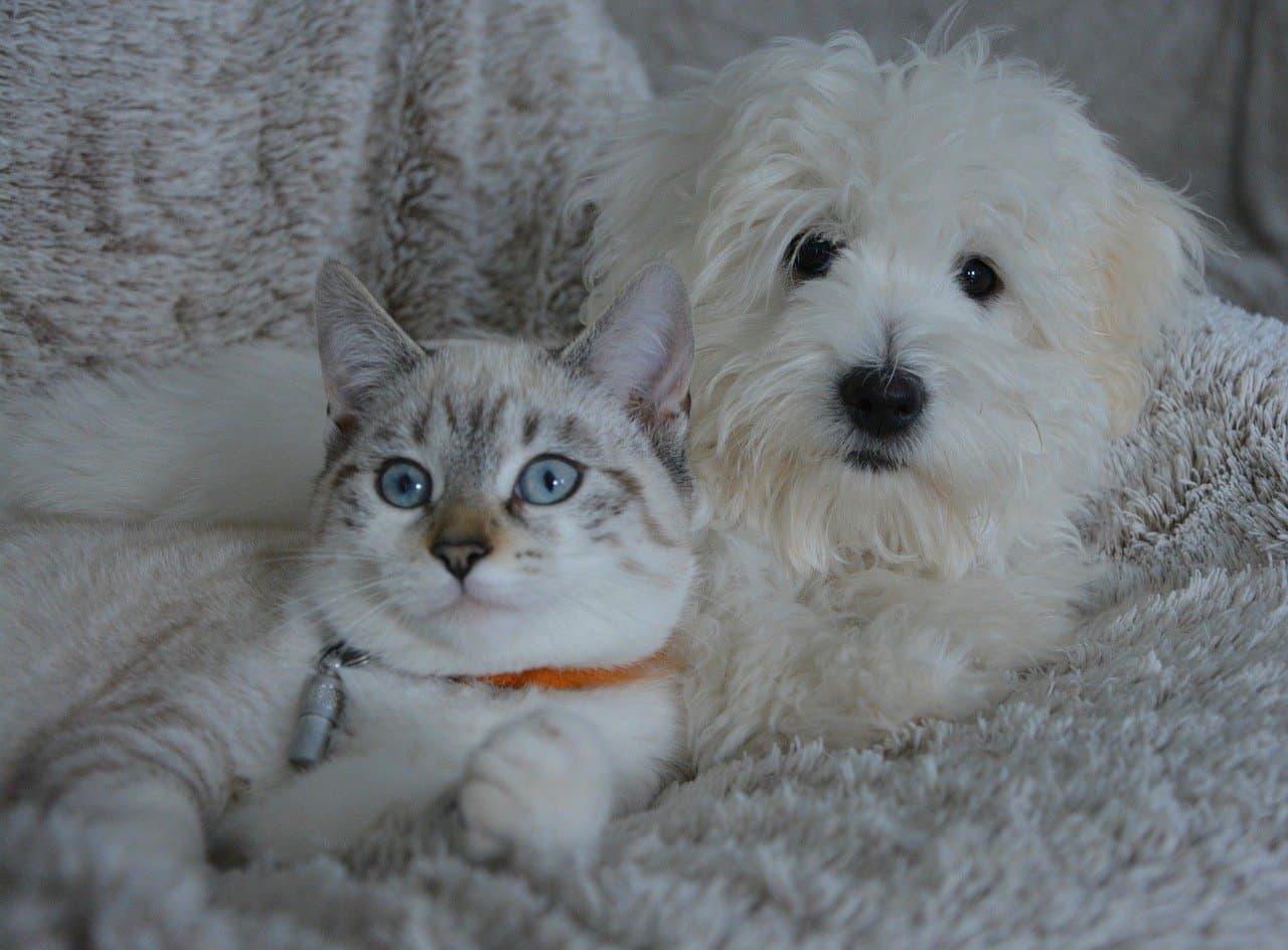 Wprowadzenie psa do domu z kotem.