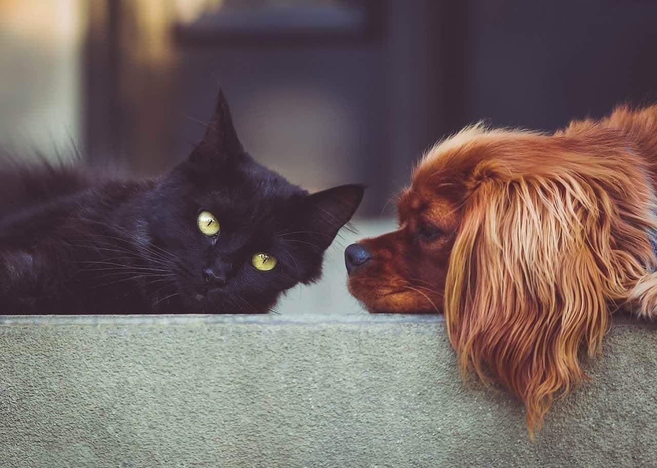 Jak przyzwyczaić kota do psa?