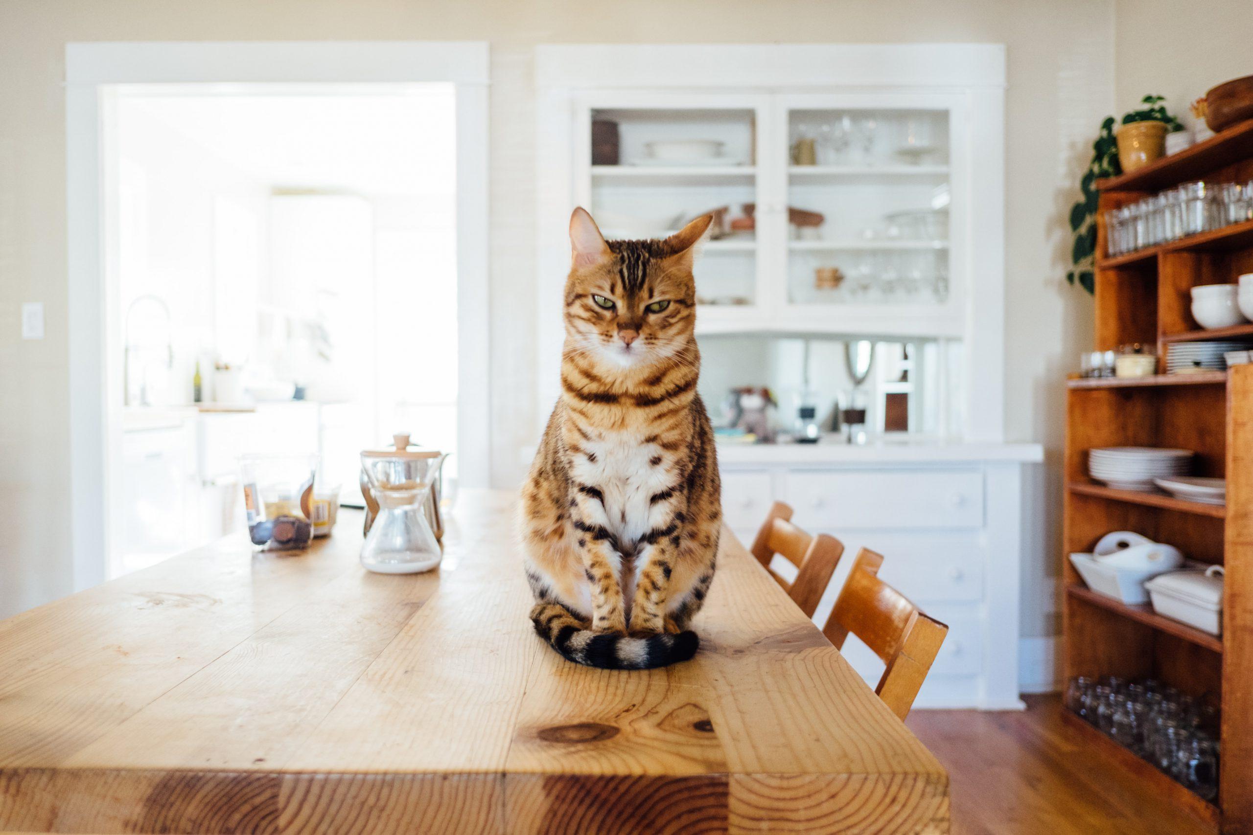 cat on kitchen